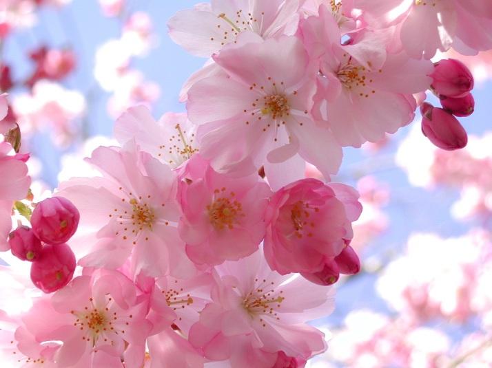 cherry-blossom-pink-flowers-3.jpg