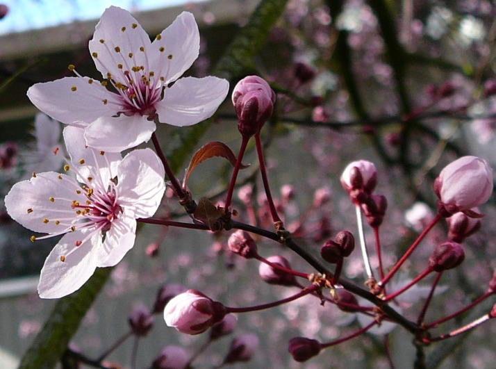 Cherry_Tree_Flower_Blossom_2_by_Enchantedgal_Stock