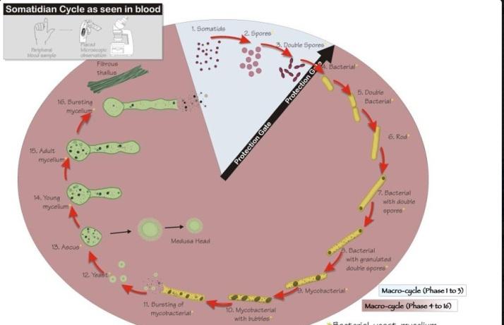 ciclul 16 etape bateriei pleomorfice (functie de PH) ce cauzeaza cancer vazuta de prof Gaston Naessen la somatoscop