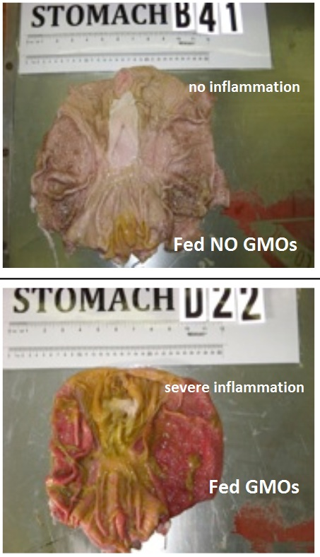 GMO-pig-intestines-inflammation