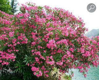 nerium oleander cancer 1